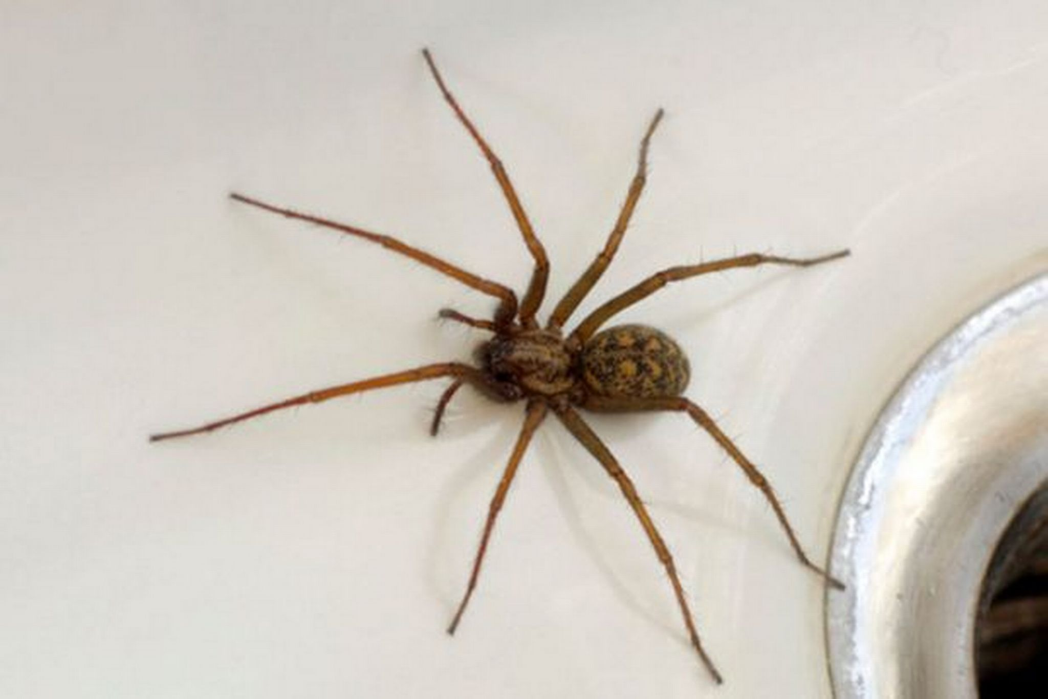 Ten Spiders You're Likely to Find in Your Home